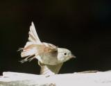 Empidonax species, Sierras 2014
