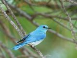 Birds -- Yuba Pass and Sierra Valley, June 2014