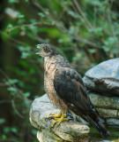 Cooper's Hawk, second year