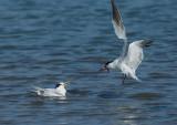 Birds -- Monterey Bay, September 2014