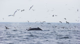 Humpbacked Whale with Seabird  Assortment, Full Sized version