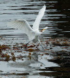 Great Egret catches a fish, September 2014