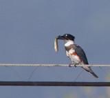Birds -- SCVAS Ogier Ponds trip, October 12, 2014