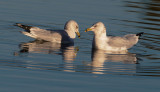 Ring-billed Gulls, pair