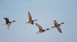 Northern Pintails, flying