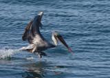 Brown Pelican taking off, Santa Cruz, November 2014