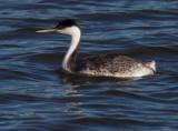 Western Grebe, non-breeding plumage