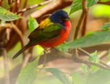 Painted Bunting, male