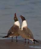 Laughing Gulls courting, Florida, March 2015