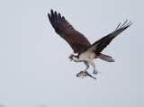 Osprey, with fish