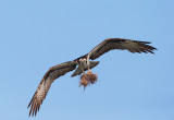 Osprey, with nesting material