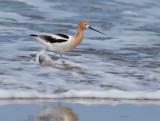 Birds -- Monterey Bay, May 2015