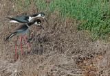 Black-necked Stilt nest invaded by gopher snake, May 2015