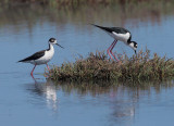Black-necked Stilts, pair courting