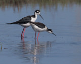 Black-necked Stilts, pair about to mate
