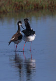 Black-necked Stilts, pair after mating