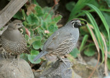 California Quails, pair