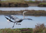 Black-necked Stilt routing Great Blue Heron, July 2015