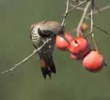 Birds, Cupertino persimmon tree, December 2015