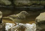 Birds, mid-day fountain bathers, January 2016