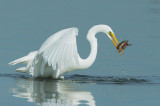 Great Egret catches and eats fish, January 2016