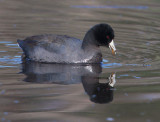 American Coot, with prey