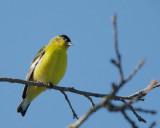 Lesser Goldfinch, male