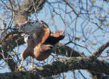 Red-shouldered Hawk, taking off