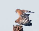 Red-shouldered Hawks, mating