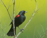 Red-winged Blackbird, male Bicolored
