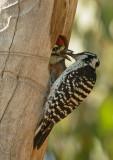 Nuttall's Woodpecker nest, May 2016
