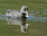 American Coot, juvenile, with leaf