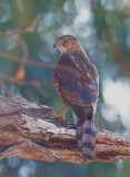 Cooper's Hawk, yearling male