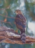 Cooper's Hawk, yearling