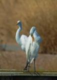 Great Egrets dancing, September 2016