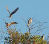 White-tailed Kite family, Stanford, July-September 2016