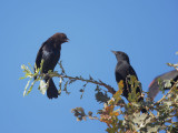 Brown-headed Cowbird and Red-winged Blackbird