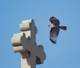 Red-tailed Hawk, juvenile