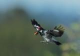 Acorn Woodpecker, male, flying with acorn