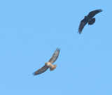 American Crow harassing Red-tailed Hawk