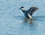 Ruddy Duck, male molting