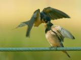Barn Swallows, adult feeding young