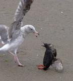 Pigeon Guillemot battles gull, August 2004