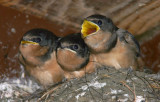 Barn Swallows, juvenile