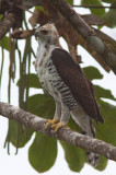 Aigle orné - Spizaetus ornatus - Ornate Hawk-Eagle
