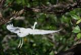 Aigrette bleue - Egretta caerulea - Little Blue Heron
