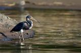 Aigrette tricolore - Egretta tricolor - Tricolored Heron