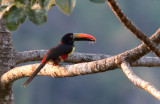 Araçari de Frantzius - Pteroglossus frantzii - Fiery-billed Aracari