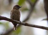 Picumne olivâtre - Picumnus olivaceus - Olivaceous Piculet