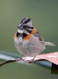 Bruant chingolo - Zonotrichia capensis - Rufous-collared Sparrow